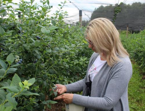 U OPG-u Ružić borovnice se uzgajaju pod strogim nadzorom na ekološki način
