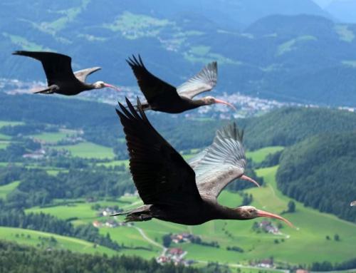 Rijetka i ugrožena vrsta ptica jučer viđena u Ludbregu