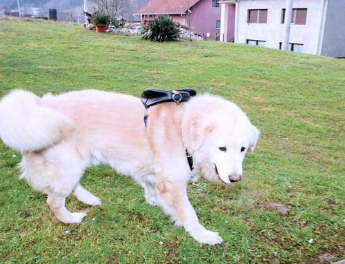 Pas Buco s ruksakom na leđima prava je atrakcija u Globočecu Ludbreškom